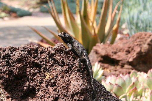 Lizard, Desert, Reptile, Animal, Wild