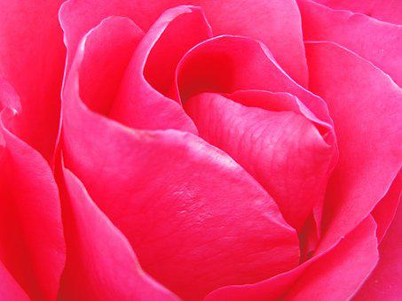 Wallpaper, The Background, Rose, Flowers, Flower