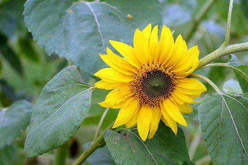 Sun Flower, Flower, Yellow, Yellow Flower, Blossom