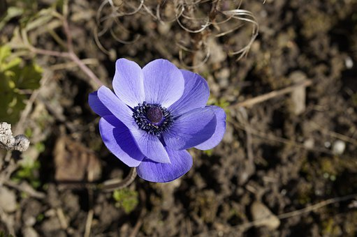 Crown Anemone, Anemone, Bloom, Blossom, Bloom