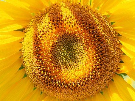 Sun Flower, Inflorescence, Flower Basket, Tongue Flower
