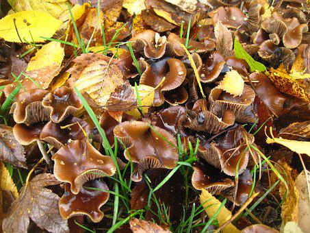Mushroom Colony, Small Mushrooms, In The Leaves