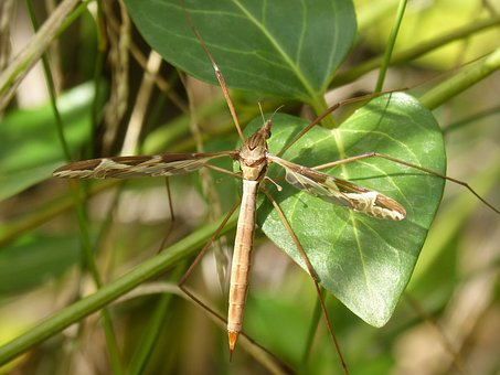 Mosquito, Long-legged Insect, Insect, Sting