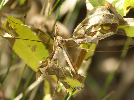 Moquito, Long-legged Insect, Insect, Sting