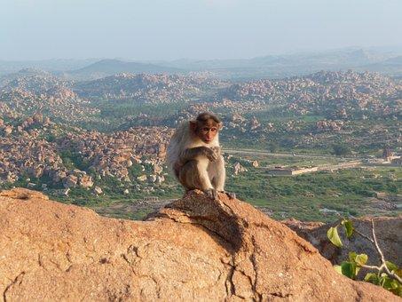 Monkey, Mountain, äffchen, Animal World, View, India