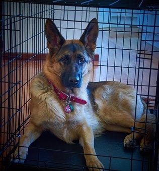 German Shepherd, Gsd, Dog, Shepherd, Pet, Training
