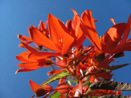 Begonia, Blossom, Bloom, Ornamental Plant, Bright