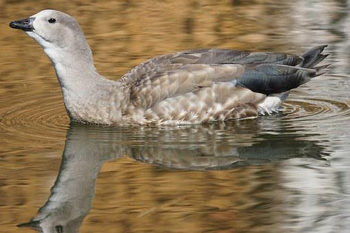 Blue Wing Goose, Duck Bird, Half Goose, Aggressive