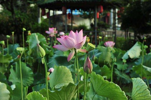 Pink Lotus, The Pods, Lotus Seeds, Lotus, Elegant