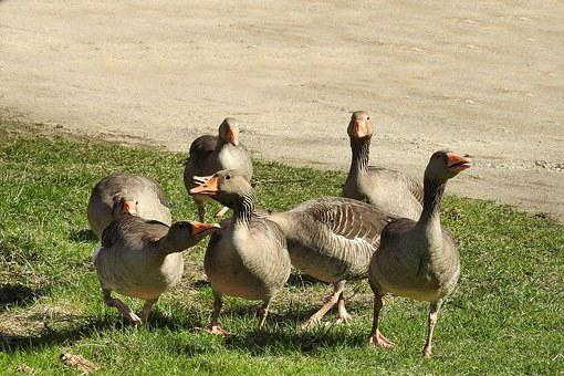 Grey Geese, Geese, Poultry, Water Bird, Wild Geese