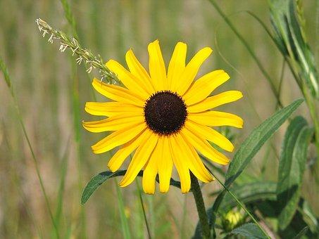 Black Eyed Susan, Yellow Daisy, Wildflower