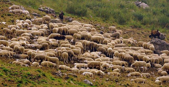 Flock, Sheep, Capra, Animal, Green, Prato, Grass