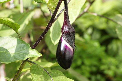 Eggplant, Harvest, Vegetables, Plant