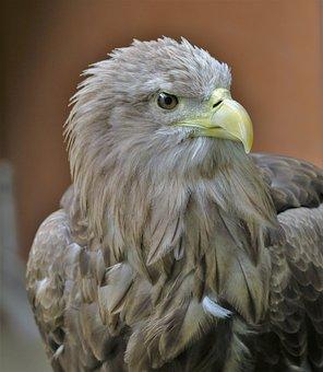White Tailed Sea Eagle, Sea Bird, Bird, Eagle, Wildlife