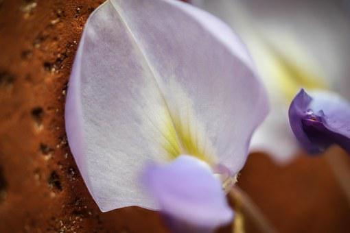 Wisteria, Blue Rain, Purple, Blossom, Bloom, Petal