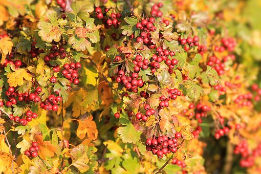 Berry Red, Berries, Hawthorn, Leaves, Fall Color