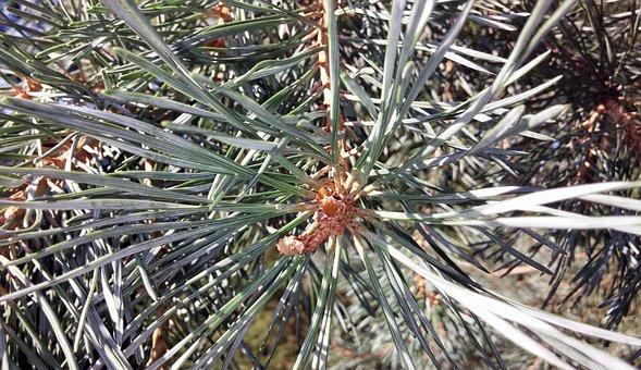Pine Tree, Tree, Needles, Pine, Close, Close Up, Branch