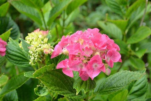 Hydrangea, Flower, Garden, Pink
