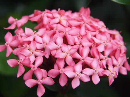 Hydrangea, Pink, Flowers, Garden, Black