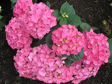 Hydrangeas, Flowers, Pink, Hydrangea Flower, Nature