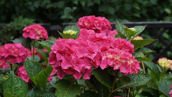 Hydrangea, Pink, Flowers, Nature, Plant, Pink Flower