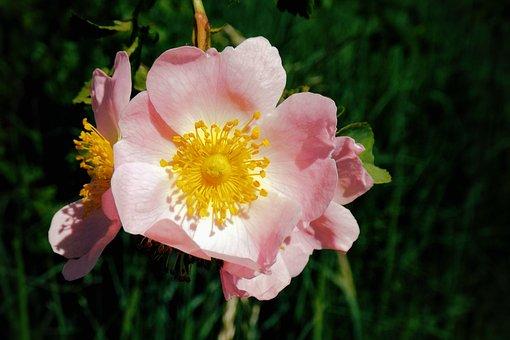Wild Rose, Bush Rose, Pink, Blossom, Bloom, Nature