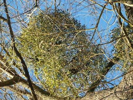 Mistletoe, Parasite, Medicinal Plant, Tree, Branch