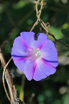Purple Morning Glory Flower, Flower, Trumpet, Purple