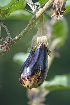 Vegetable, Eggplant, Vegetable Garden, Food, Harvest