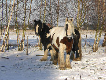 Tinker, Horses, Snow, Winter, Wintry, Winter Time