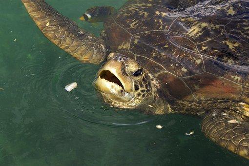 Sea Turtle, Meeting, Kélonia