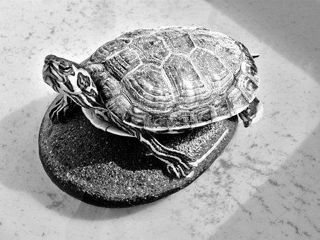 Turtle, Testudinidae, Reptile, Creature, Animal