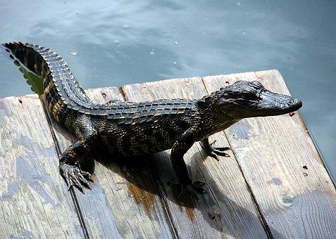 Alligator, Reptile, American, Dock, Wildlife, Animal