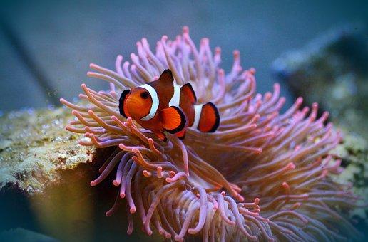 Anemone Fish, Clown Fish, Amphiprion, Fish, Aquarium