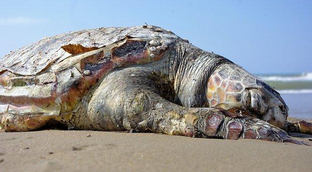 Turtle, Sea, Sand, Dead, Creature, Animal, Panzer