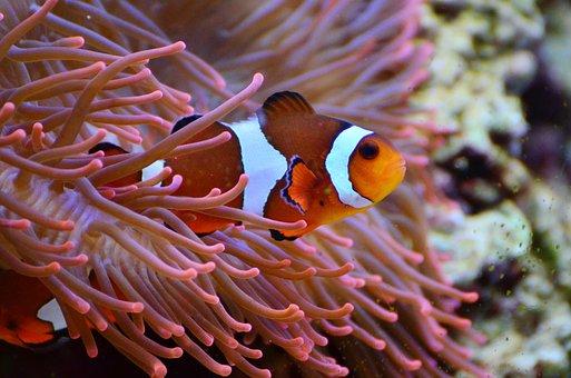 Anemone Fish, Clown Fish, Aquarium, Amphiprion, Fish