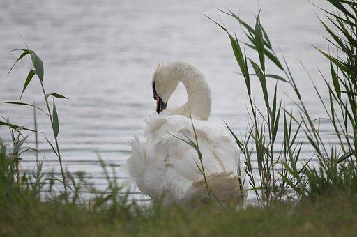 Lake Neusiedl, Burgenland, Swan, Reed, Lake, Bank