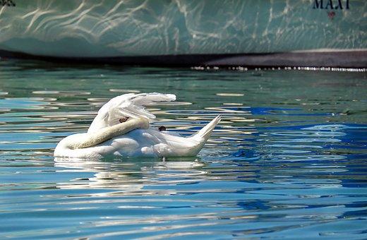 Swan, Mute Swan, Clean, Bird, Swim, Animal