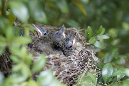 Nest, Bird, Birds, Chicks, Bird's Nest, Boy