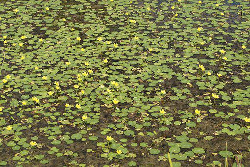 Lake, Yellow, Yellow Teichrosen, Bloom, Nuphar