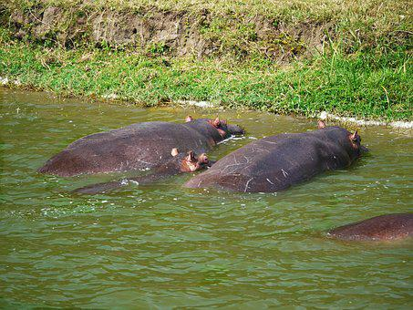 Hippos, Watering Hole, Animals, Family, Baby, Doze