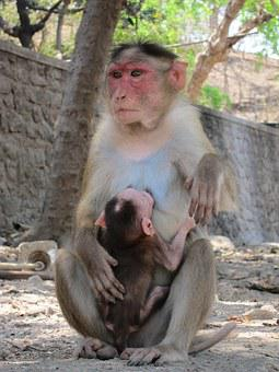 Rhesus, Macaque, Monkey, India, Mammal, Nature, Animal