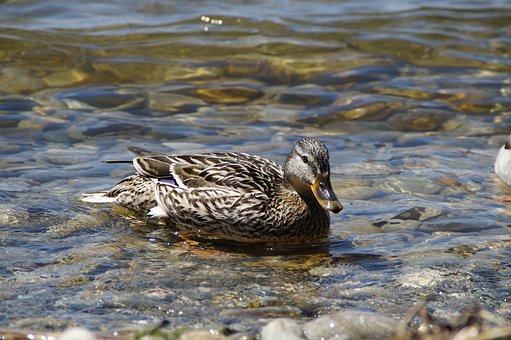 Ducks, Mallards, Birds, Duck Bird, Water Bird
