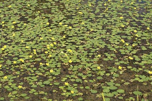 Lake, Yellow, Yellow Teichrosen, Bloom, Nuphar