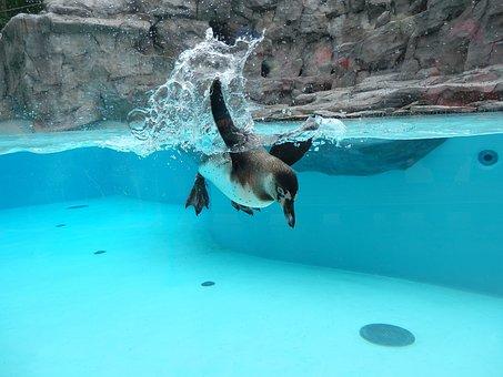 Penguin, Already I Swim, Zoo, Fauna, Nature