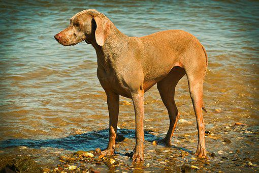 Dog, Weimaraner, Animal, Pet, Animal Portrait
