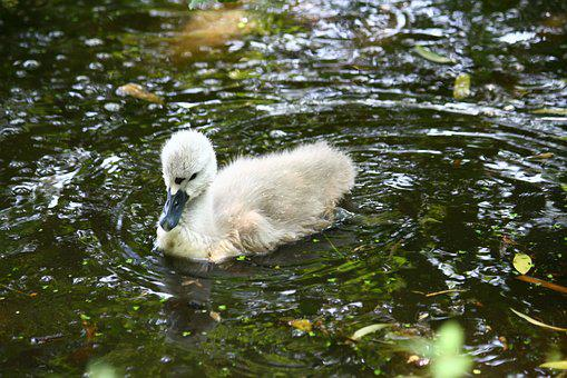 Swan, Ugly Duckling, Young, Lake, Nature, Swimming