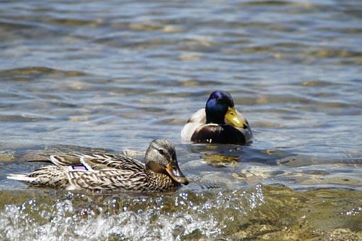 Ducks, Mallards, Birds, Duck Bird, Water Bird, Pair