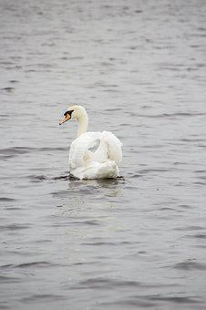 Swan, Animal, Lake, Bird, Water, Nature, Beach