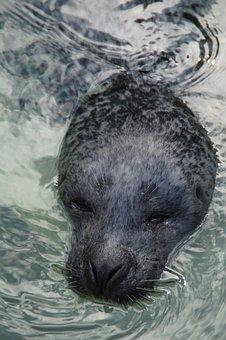 Seal, Head, Robbe, Swim, Water, Mammal, Zoo, Snout